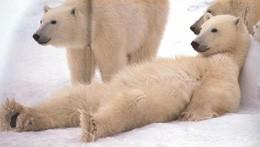 ijsberen